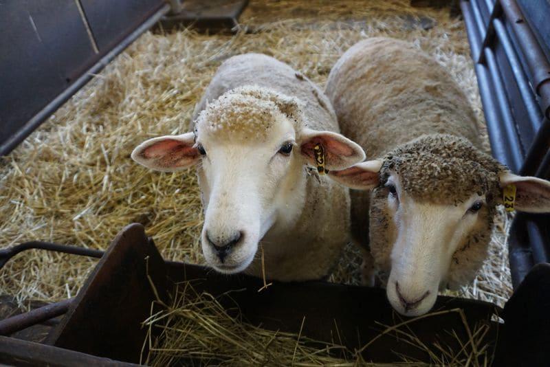 羊小屋にいる2頭の羊