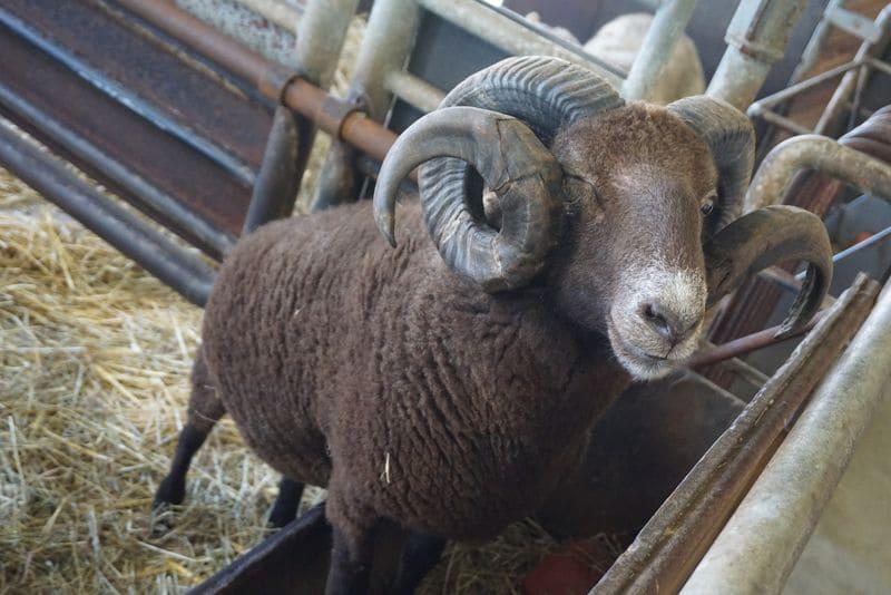 羊小屋にいる角の大きな羊