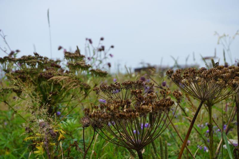 霧多布岬に咲く謎の花