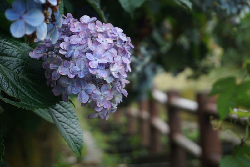 階段国道339号の紫陽花