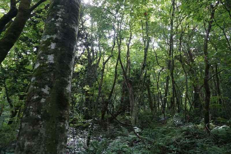 白神山地のブナ自然林