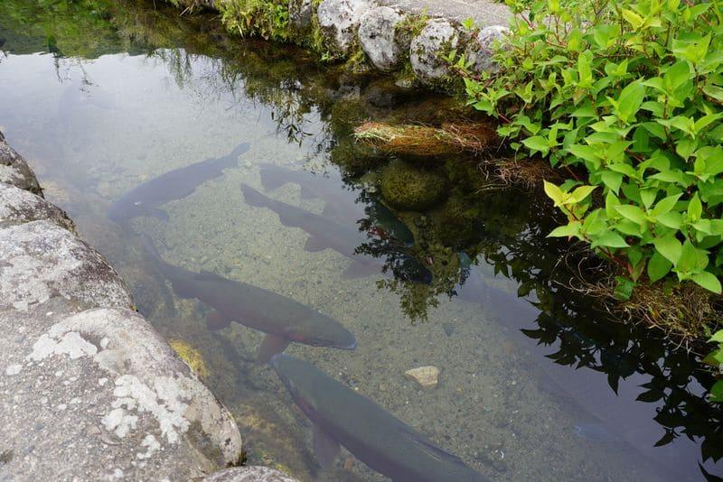 白川郷の川にいる鯉